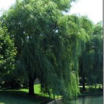 weeping-willow-tree