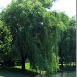 weeping-willow-tree-225x300