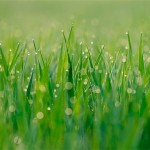 morning dewdrops on grass